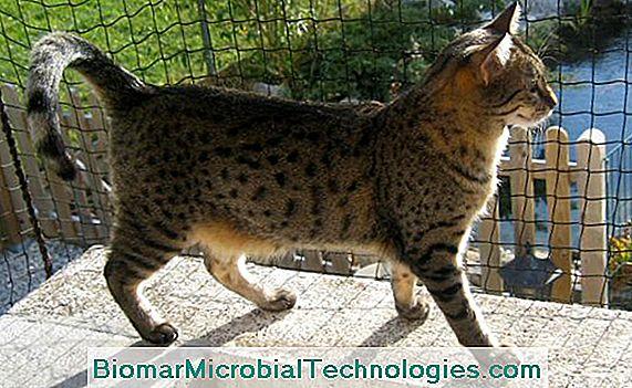 Egipski Mau Bardzo Stara Rasa Kotów Witryna Praktycznego
