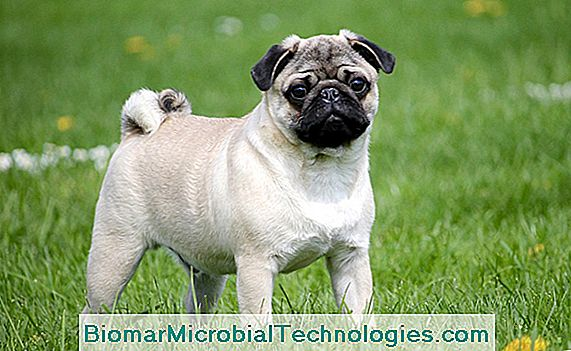 The pug, a dog from China