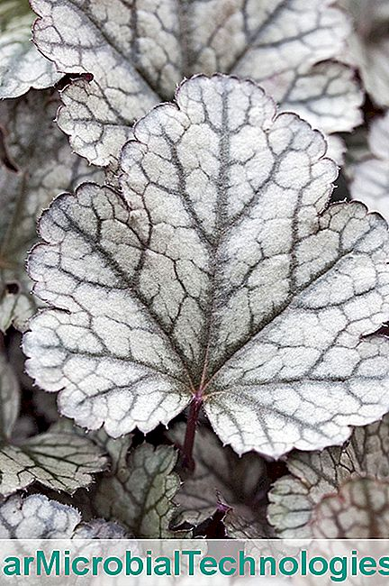 Heuchera 'Zuckerguss'