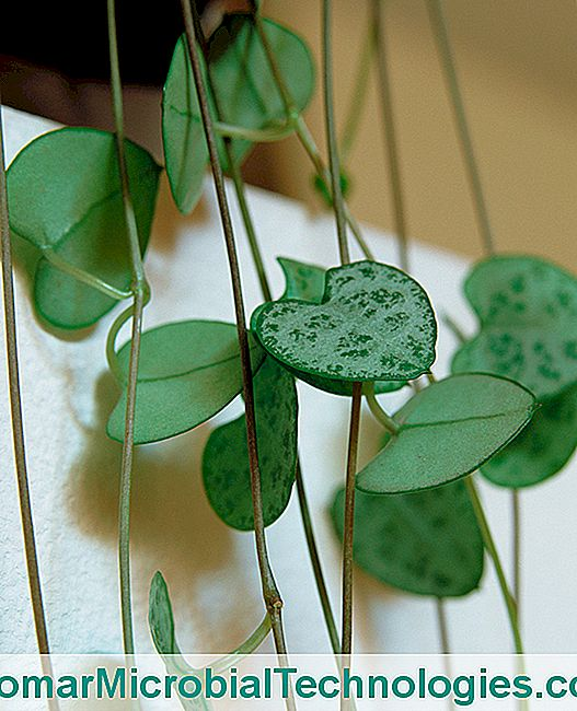 Ceropegia: How To Cultivate The Chain Of Hearts Indoors