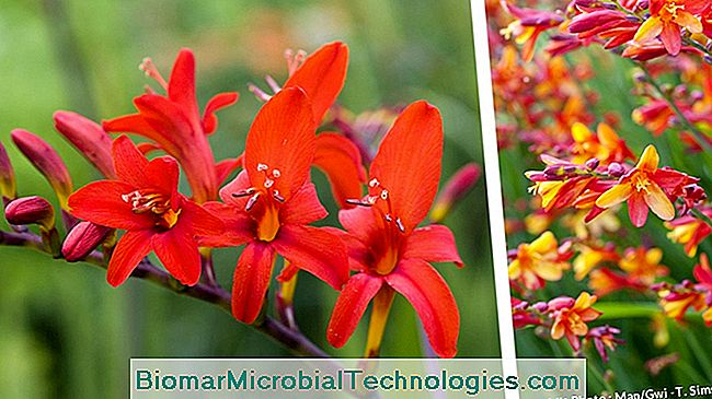Crocosmias lucifer y jackanapes