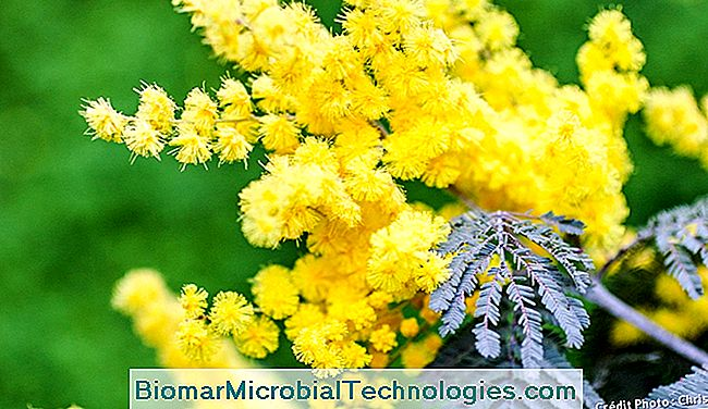 Mimose in voller Blüte