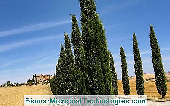 Provence Cypress (Cupressus Sempervirens), En Sydlig Silhuet