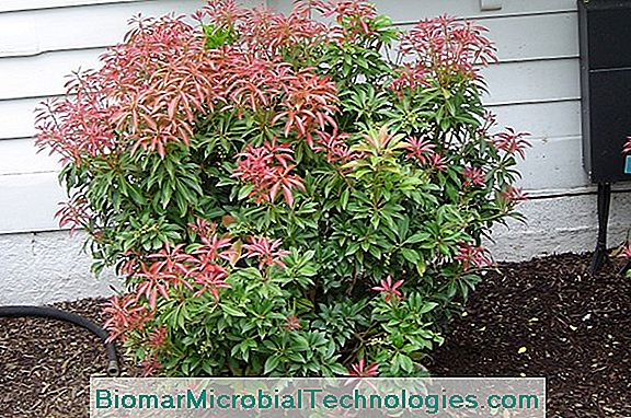 Pieris Japonica: Japan Andromeda