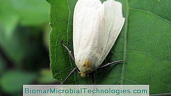 The White Fly Or Whitefly: Which Treatment?