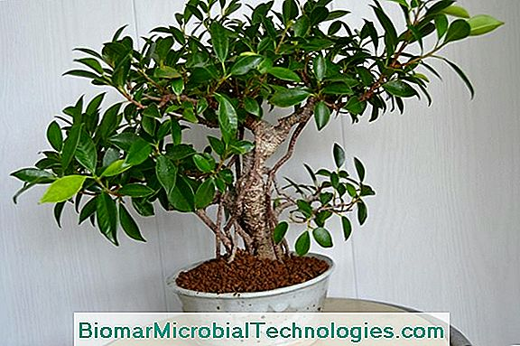 Ficus Ginseng (Ficus Microcarpa), Nybegynderens Bonsai