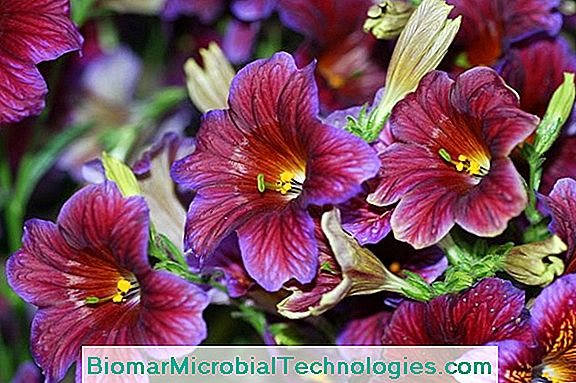 Salpiglossis Med Skiftende Blomster (Salpiglossis Sinuata)
