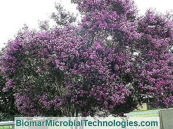 Lilac Of India (Lagerstroemia): Kulturprofil