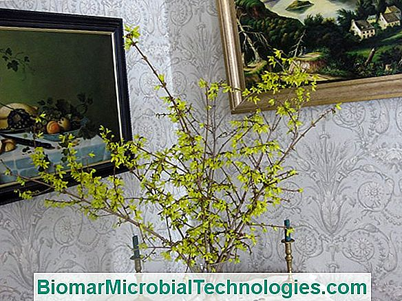 Make Your Forsythia Branches Bloom In The House
