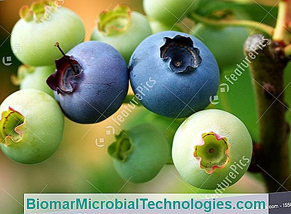 Blueberry And Myrtleberry (Vaccinium Myrtillus), For Gourmet Jams