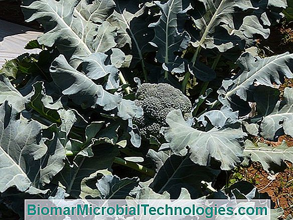 Broccoli Cabbage (Brassica Oleracea Var., Italica), Cabbage From Italy