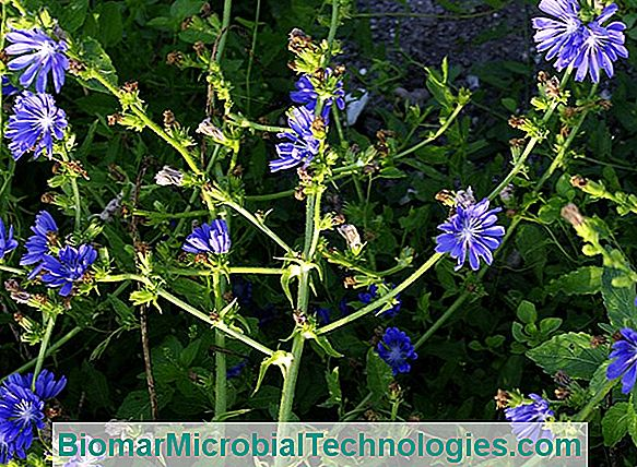 Curly Chicory (Cichorium Endivia 'Crispa'), With Deeply Cut Leaves