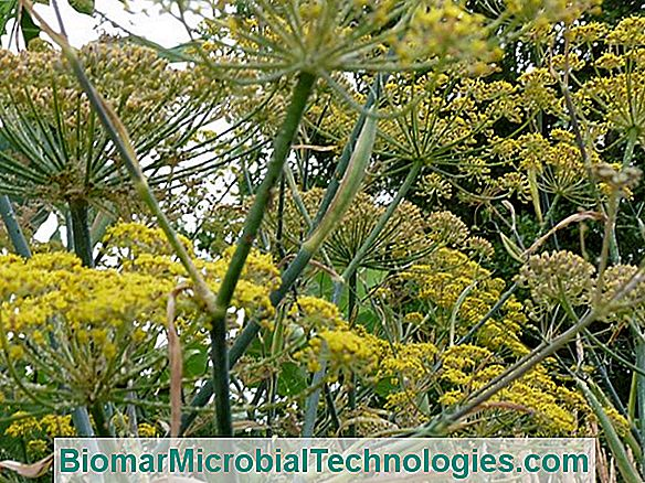 Fennel (Foeniculum Vulgare And Dulce): Aromatic And Decorative Plant