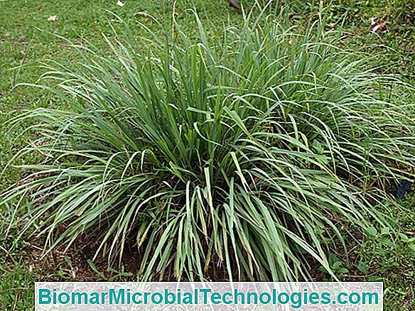 Lemongrass (Cymbopogon Citratus), The Anti-Mosquito Plant