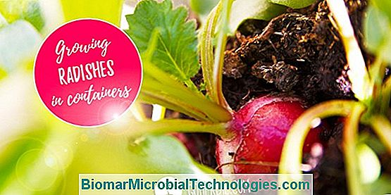 Sowing Radishes: When And How To Succeed?