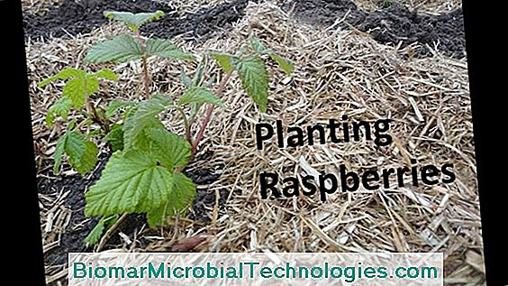 Planting Raspberries: When And How?