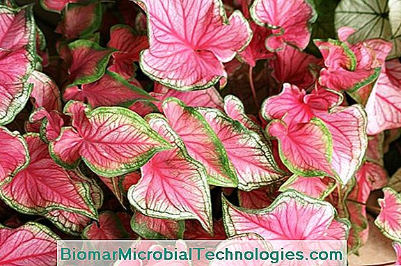 Caladium: A Colorful Foliage