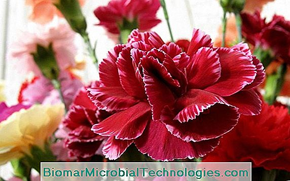 Carnations: Colors And Scents