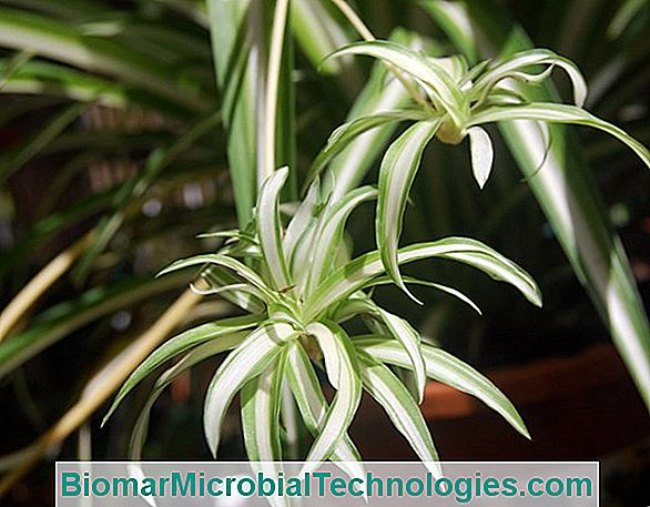 Chlorophytum: A Very Decorative Foliage