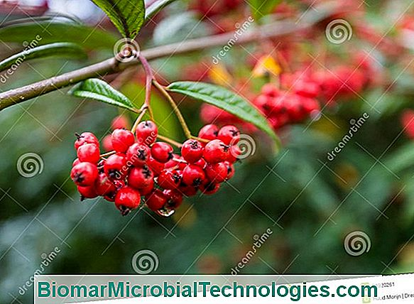 Cotoneaster: Famous For Its Beautiful Berries