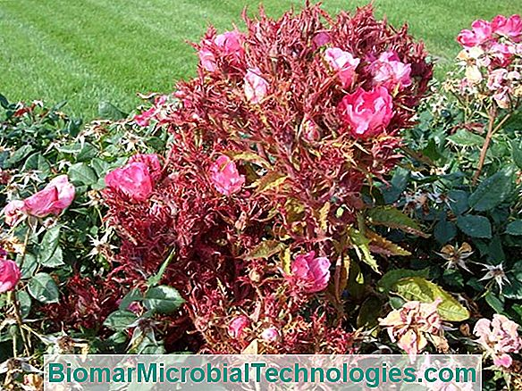 Rose Diseases: Fight And Treatment