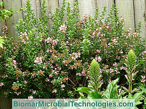 Escallonia: A Shrub Of Great Beauty