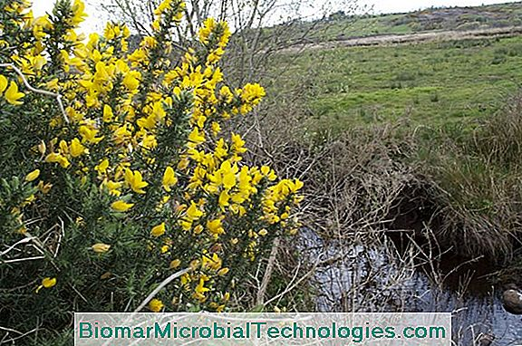 Gorse: Beautiful Shrub With Flowers