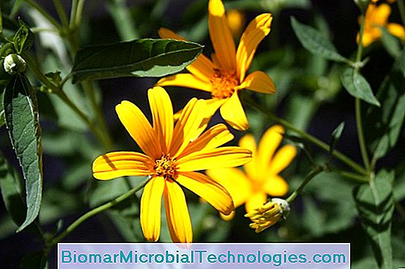Heliopsis: A Unique Yellow