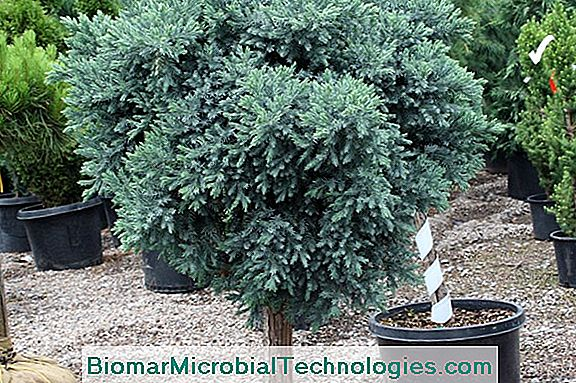 Juniper: A Very Ornamental Shrub