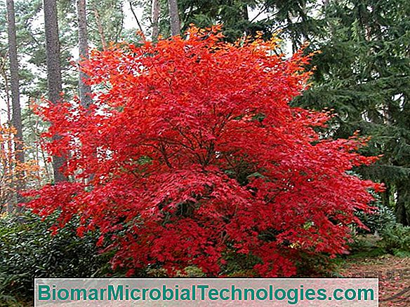 Japanese Web Maple Or Acer Palmatum