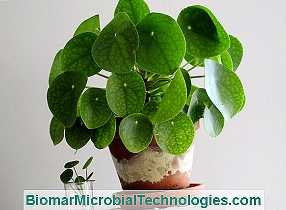 Pilea: A Plant With A Design Look