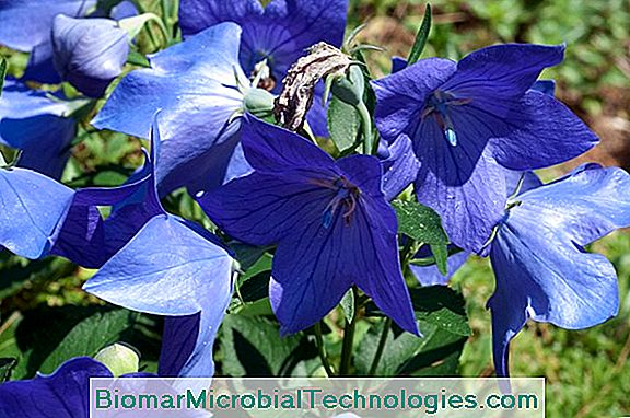 Platycodon: Bellflower With Large Flowers
