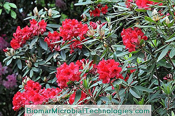 Rhododendron: A Flowering Shrub