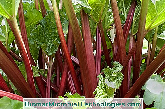 Rhubarb: From Plantation To Harvest