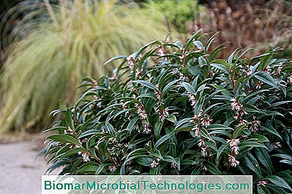 Sarcococca: Pretty Flowers In Winter