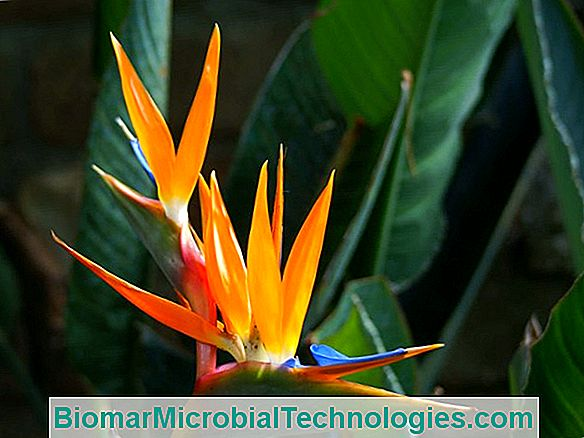 Strelitzia: The Bird Of Paradise