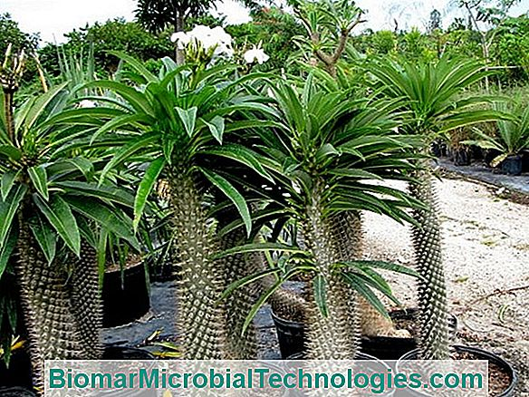 Ideal Soil And Exposure For Planting A Hawaiian Palm Tree In Pot