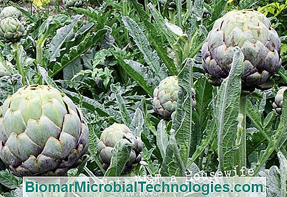 Grow The Artichoke