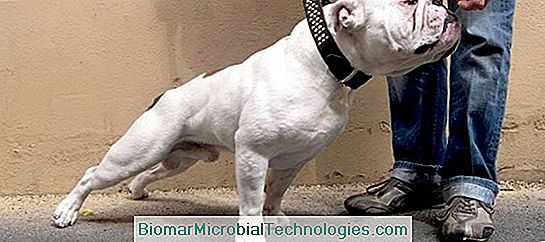 The American Bulldog, Dog With Athletic And Powerful Build