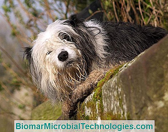 The Bobtail Or English Ancestral Shepherd