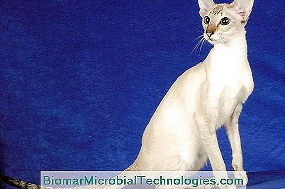 Colorpoint Shorthair, A Slender And Elegant Body Cat