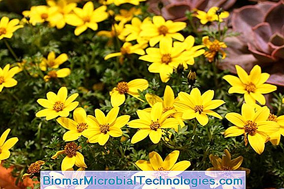 Bidens (Bidens Ferulifolia), Gold In The Garden