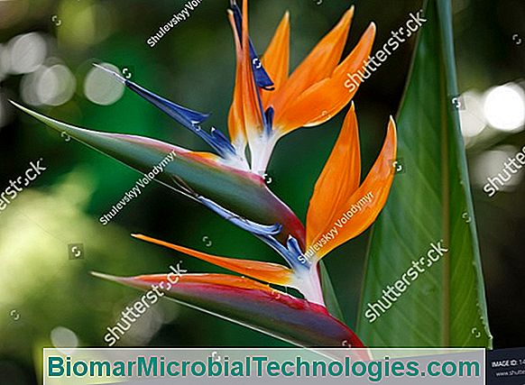 Bird Of Paradise (Strelitzia), An Exotic Flower