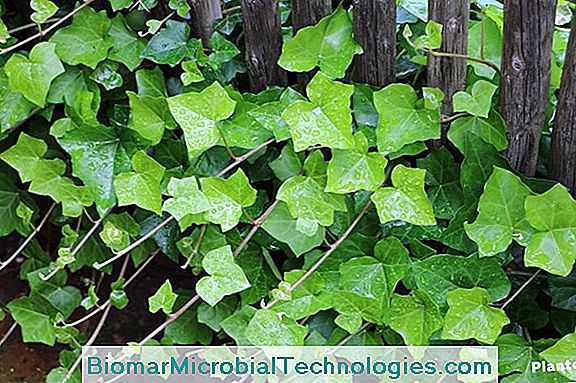 Ivy Climbing (Hedera Helix), The Grass Of Saint John