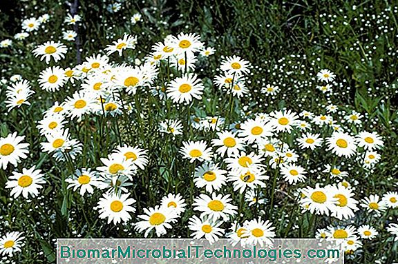 Marguerite Or Large Daisy (Leucanthemum Vulgare)