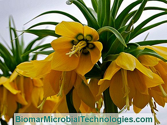 Imperial Fritillaria (Fritillaria Imperialis), The Imperial Crown
