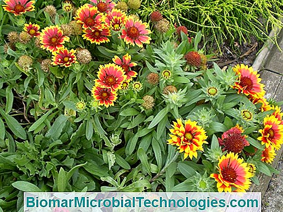 La Gaillarde (Gaillardia), Cheerfulness And Warmth In Your Gardens