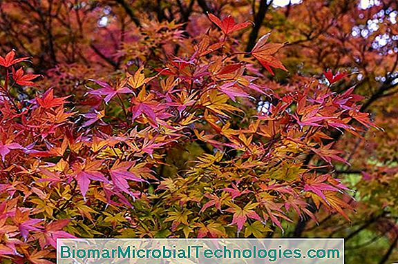 Maple (Acer), The Tree With Colorful Deciduous Leaves