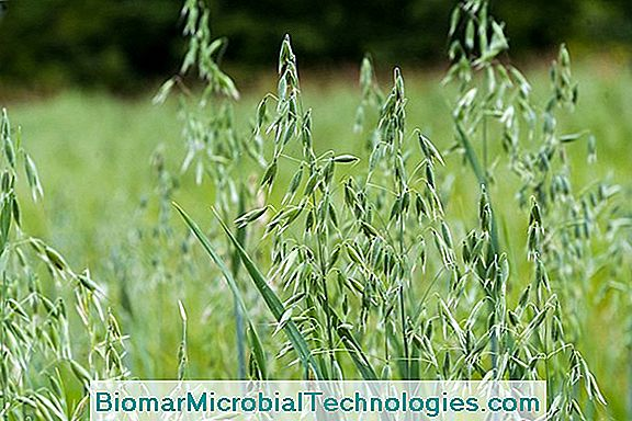 Oats (Avena Sativa), Food Cereals And Green Manures