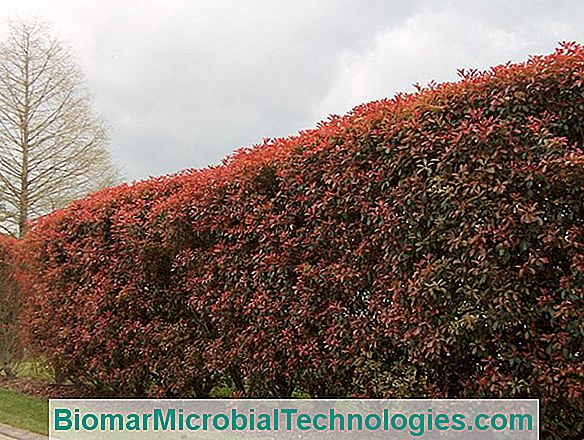 Photinia (Photinia X Fraseri), Red Foliage In A Hedge